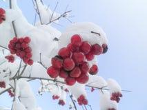 De winterlijsterbes en blauwe hemel stock foto