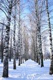 De winterpark, landschap met bomenberk met behandelde sneeuwtakken Stock Afbeeldingen