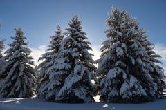 De winterpijnbomen in de zon Royalty-vrije Stock Foto