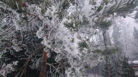 De winterpijnboom Royalty-vrije Stock Foto