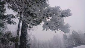 De winterpijnboom Stock Fotografie