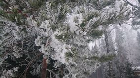 De winterpijnboom Stock Foto