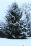De winterpijnboom Royalty-vrije Stock Afbeeldingen
