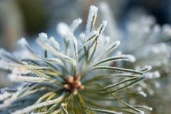 De winterpijnboom Royalty-vrije Stock Foto's