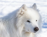 De winterportret van een witte hond van Samoyed Royalty-vrije Stock Afbeeldingen