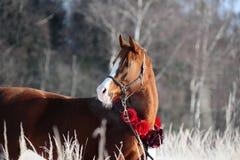 De winterportret van het kastanje Arabisch paard Royalty-vrije Stock Afbeeldingen