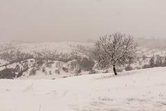 De winterscène en okkernootboom Stock Foto's