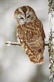 De winterscène met uil in de bosdieTawny Owl-sneeuw in sneeuwval tijdens de winter, boomboomstam met sneeuw wordt behandeld Uil m royalty-vrije stock afbeeldingen