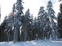 De wintersneeuw behandelde bomen in het bos Stock Afbeelding