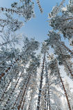 De wintersneeuw behandelde bomen tegen de blauwe hemel Stock Afbeeldingen
