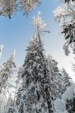De wintersneeuw behandelde bomen tegen de blauwe hemel Royalty-vrije Stock Foto's