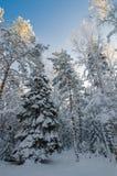 De wintersneeuw behandelde bomen tegen de blauwe hemel Royalty-vrije Stock Foto