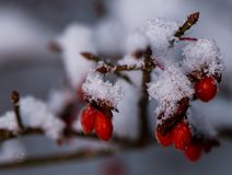 De de wintersneeuw behandelde de rode bessen van de brandstruik in midden van de winter stock foto's