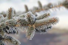 De wintertak van sparren, die met rijp wordt behandeld Stock Foto's