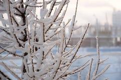 De wintertakken van lariks met witte sneeuw stock fotografie