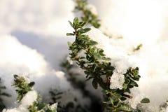De winterthyme Royalty-vrije Stock Fotografie