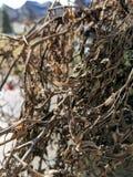 De winterTomatenplant royalty-vrije stock fotografie
