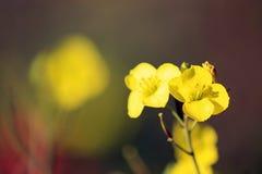 De wintertuinkers die op donkere achtergrond bloeien Gele bloemenclose-up stock fotografie