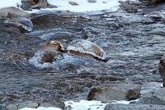 De wintervallei van de bevroren die stroom van de bergrivier met ijs en sneeuw bij kleurrijke zonsondergang lichte dageraad wordt Royalty-vrije Stock Foto