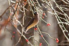De wintervogel op bessenboom die wordt neergestreken Royalty-vrije Stock Fotografie