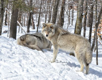De winterwolven Stock Foto's