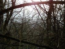 De winterzon die door bomen in bos glanzen stock foto's