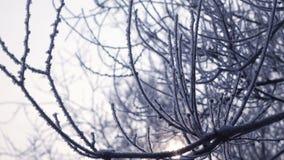 De winterzon en sneeuw behandelde bomen stock video