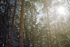 De winterzonlicht die door Sneeuwbos glanzen royalty-vrije stock afbeelding
