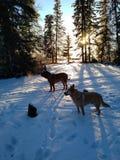 De winterzonsondergang met hondsilhouet Stock Fotografie