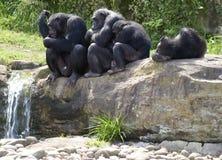 De wirwar van chimpansees door stroom Stock Afbeeldingen