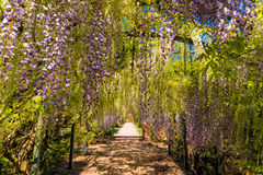 De Wisteria-Tunnel, Hampton Court Castle, Herefordshire, Engeland Stock Fotografie