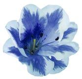 De wit-blauwe bloemlelie op een wit isoleerde achtergrond met het knippen van weg geen schaduwen close-up Stock Fotografie