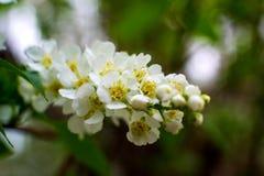 De wit-gele bloemen op een nog volledig naakte boom, zijn groene bladeren net begonnen te bloeien stock afbeelding