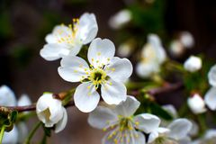 De wit-gele bloemen op een nog volledig naakte boom, zijn groene bladeren net begonnen te bloeien stock fotografie