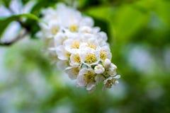 De wit-gele bloemen op een nog volledig naakte boom, zijn groene bladeren net begonnen te bloeien royalty-vrije stock afbeeldingen