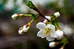 De wit-gele bloemen op een nog volledig naakte boom, zijn groene bladeren net begonnen te bloeien stock foto's