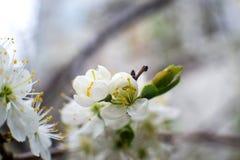 De wit-gele bloemen op een nog volledig naakte boom, zijn groene bladeren net begonnen te bloeien stock afbeeldingen