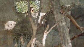De wit-overhandigde gibbon eet banaan stock footage