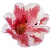 De wit-roze bloemlelie op een wit isoleerde achtergrond met het knippen van weg geen schaduwen close-up Royalty-vrije Stock Foto