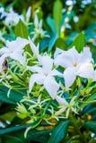 De witte aard van de bloem tropische boom Stock Afbeeldingen