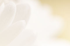 De witte achtergrond van de bloemblaadjebloem. Stock Foto