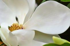 De witte achtergrond van de de lentebloesem van magnoliabloemen, selectieve nadruk Royalty-vrije Stock Afbeeldingen