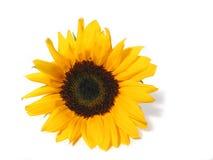 De witte achtergrond van de zonnebloem royalty-vrije stock afbeeldingen
