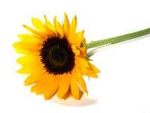 De witte achtergrond van de zonnebloem Stock Foto