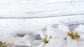 De witte Achtergrond van poinsettiakerstmis Stock Afbeeldingen
