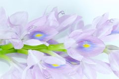 De witte achtergrond van de waterhyacint in studio royalty-vrije stock fotografie