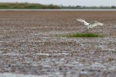 De witte aigrette is glad voor het voedsel royalty-vrije stock fotografie