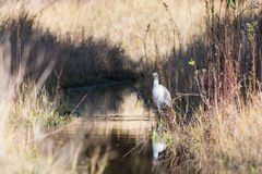De witte aigrette van Egypte heeft over water royalty-vrije stock fotografie