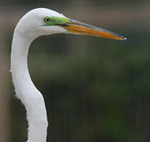 De witte Aigrette van Florida Royalty-vrije Stock Afbeelding