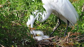 De witte Aigrette van Florida Stock Fotografie